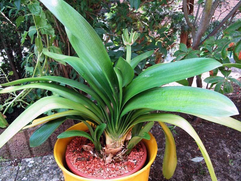 Выращивание кливии в домашних условиях 145