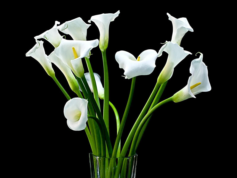 цветы каллы картинки